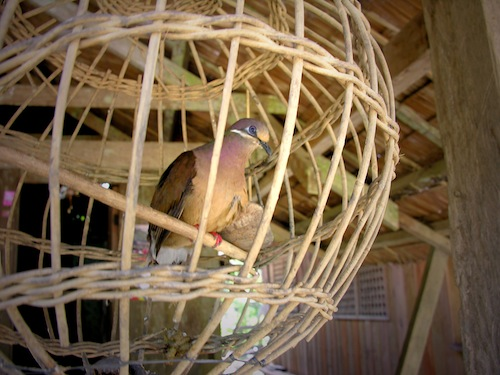 The vanising Limocon (Bird of Omen) of Davao Oriental inside a rattan cage, photo by Danny C. Sillada