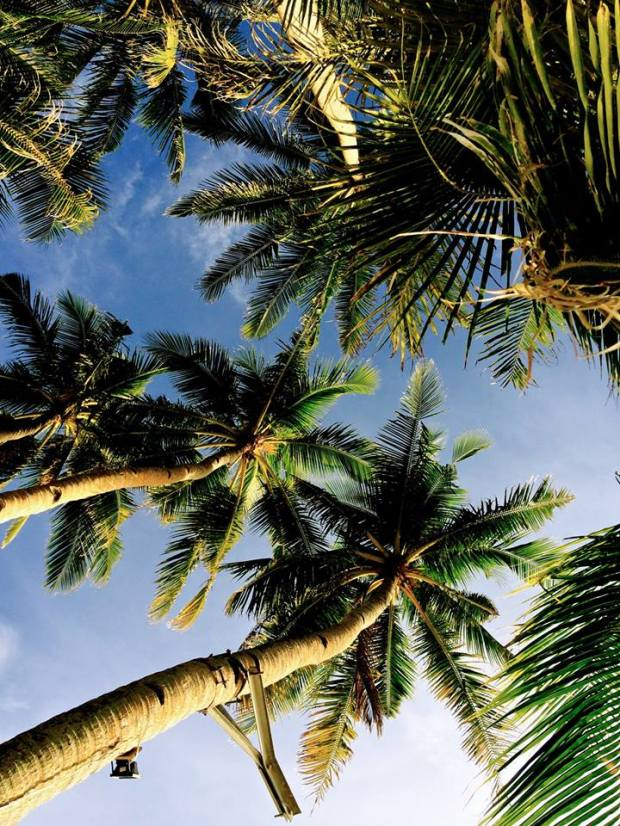 Gorgeous coconut trees
