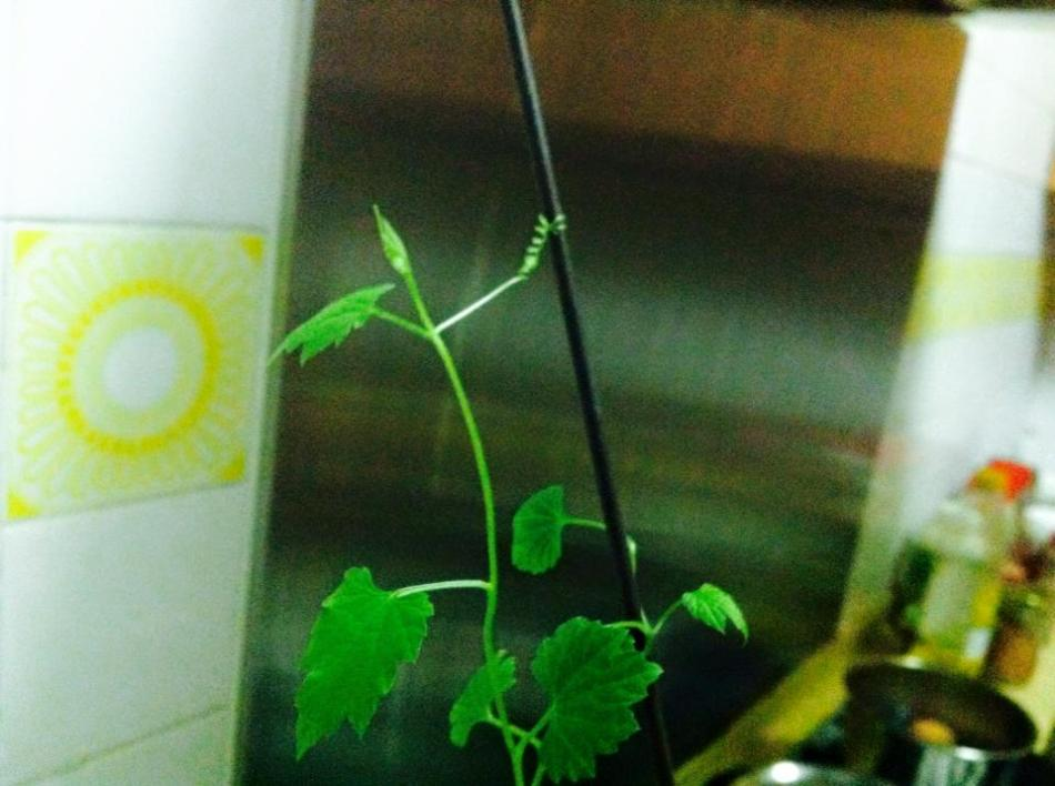 From Anita: The first tendril on my bitter gourd plant. How precious!